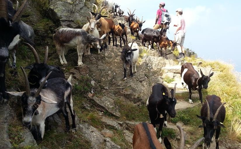 Geissen auf dem Monte Lema